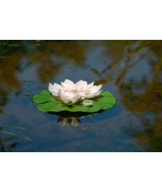 White Water Lily with Frog Floating Pond Decoration by Apollo Garden